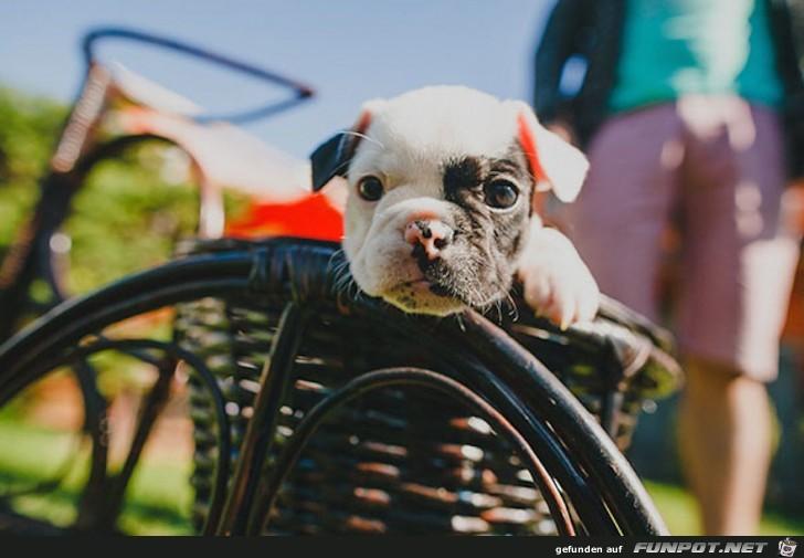 die suessesten Bulldoggen-Babys der Welt 16