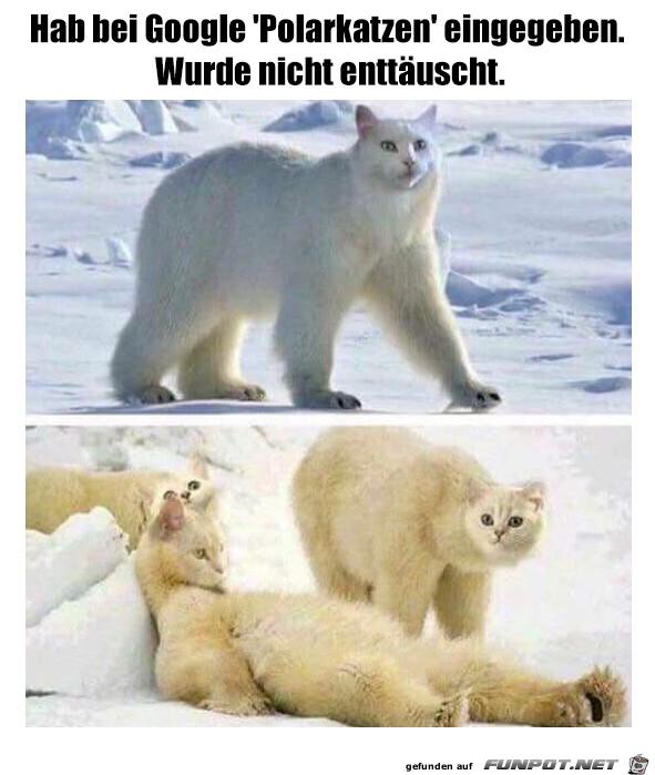 Polarkatzen
