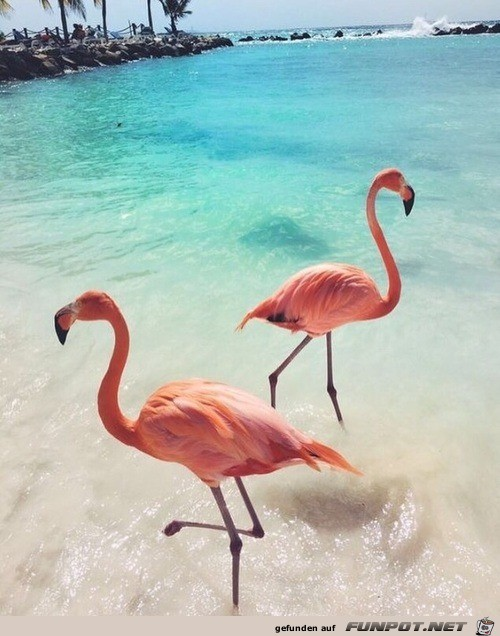 Flamingo vor Hawaii