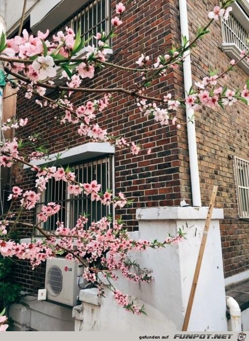 Kirschenblüte Tokio