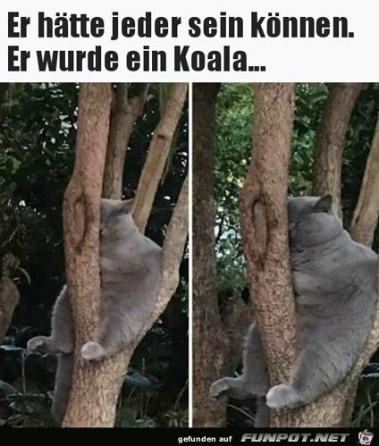 Katze ist Koala