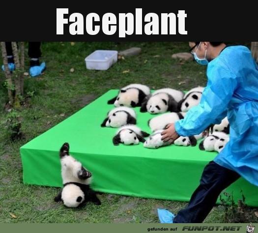 Kleiner Panda ist runtergefallen