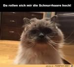 Schnurrhaare-rollen-sich-hoch.jpg auf www.funpot.net