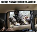 Lustige-Zebras.jpg auf www.funpot.net