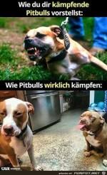 Wie-Pitbulls-wirklich-kämpfen.jpg auf www.funpot.net