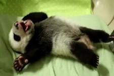 Mueder Panda