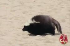Stinktier am Strand