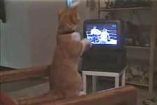 die Boxer-Katze