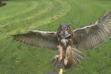Amazing nature - The Eagle Owl