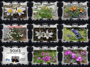 Alpenblumen-II