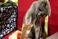 Le petit chat qui aime le Champagne
