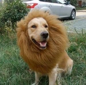 Löwenmähne für Hunde!