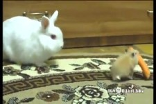 Hamster klaut Hasen seine Karotte