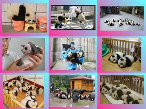 Japan Panda kindergarten E
