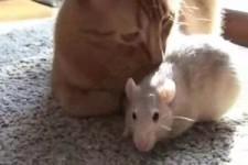 Freundschaften zwischen Ratten und einer Katze