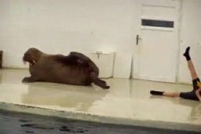 Walrus gymnastiek