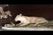 die schmusende Löwin