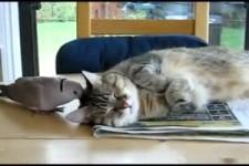 taube Katze