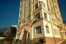 Gay giraffe