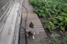 Dog Brings Cat to Home