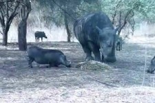 Rhino-vs-Warthog