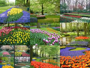Hollands Tulpen