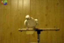 wenn der Papagei auf orientalische Musik tanzt