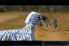 Zebra-Attrappe