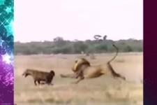 Löwen gegen Hyänen
