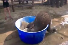 Baby-elephant badet