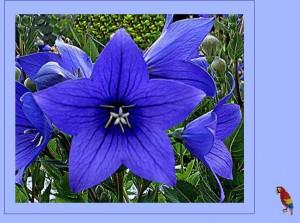 blaue Blüten 2