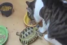 Schildkröte greift Katzen an