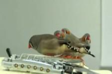 Zebrafinken spielen die E-Gitarre