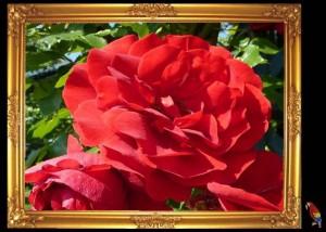 Rosen weit fliegen die Traeume Olav