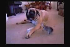 Chihuahua Plays with English Mastiff