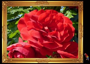 Rot rot rot sind die Rosen de Boore