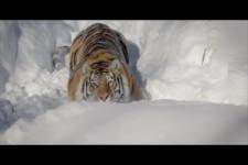 Drohne filmt Tiger im Schnee