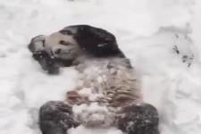 Panda im Schnee