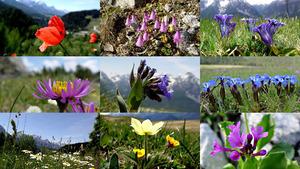Alpine Blumen der Schweizer Alpen