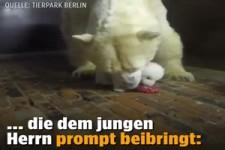 Baby Eisbär