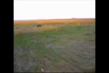 agressive Wildschweine