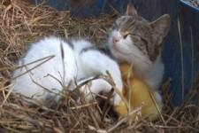 AMAZING cat feeding ducklings.