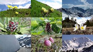 Engiadina - Bergblumen