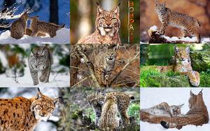 Bobcats - Rotluchs (eine kleine nordamerikanische Katze)