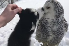 Eule und Husky
