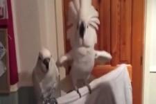 Kakadu steht auf Rock n Roll