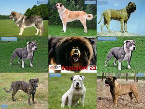 Chiens - Molosses du Monde - Muskulöse Hunde