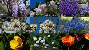 Wenn der Flieder - Blumen