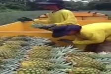 Ananas-Ernte