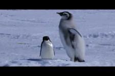 Adelie Penguin Slaps Giant Emperor Chick